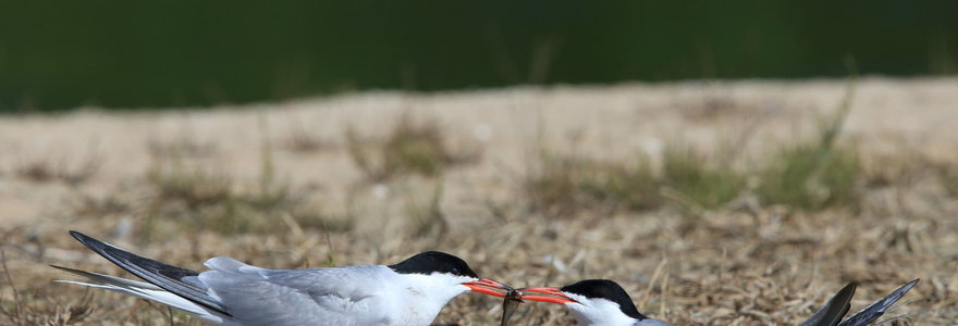 Kviečiame žiūrėti nuostabų paukščių gyvenimą iš žuvėdrų kolonijos