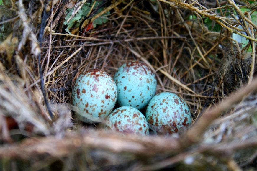 6 nuotrauka: Darvino kikilio kiaušiniai