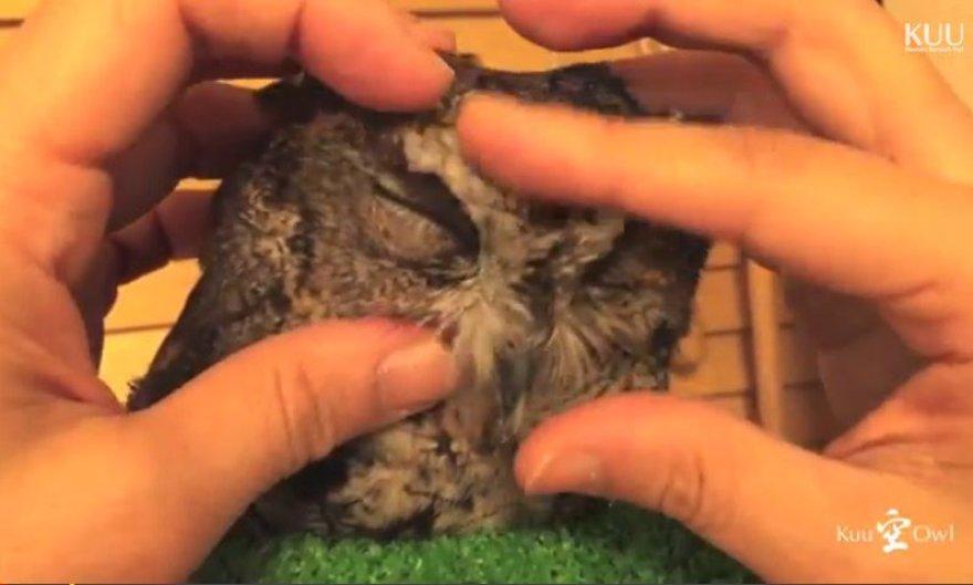 Mažas pelėdžiukas mėgsta būti glostomas