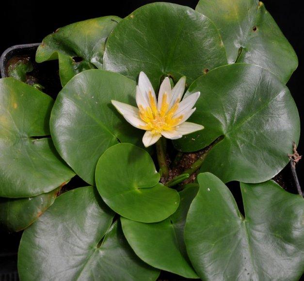 Vandens lelija Nymphaea thermarum