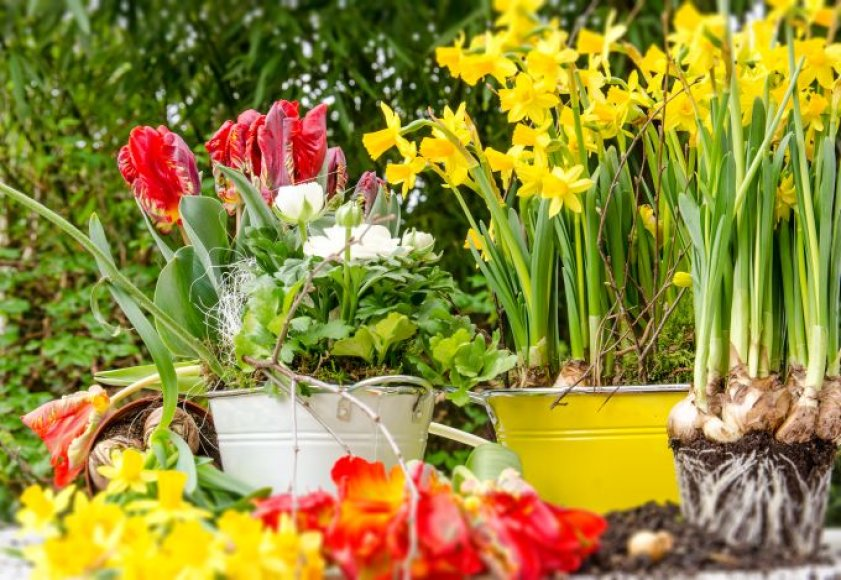 Gražiausios pavasarinės gėlės