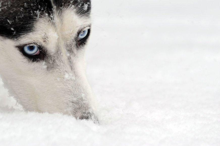 Haskių veislės šuo
