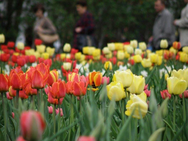 Tulpės Burbiškio dvare