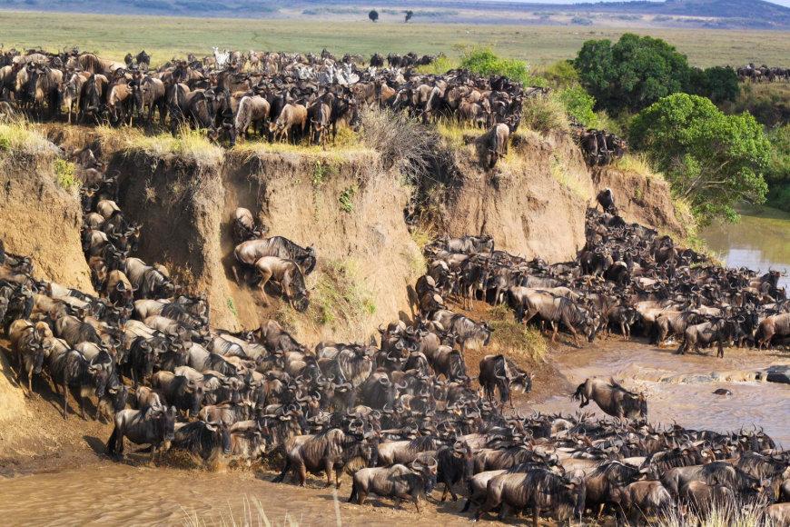 Antilopių gnu migracija Serengetyje
