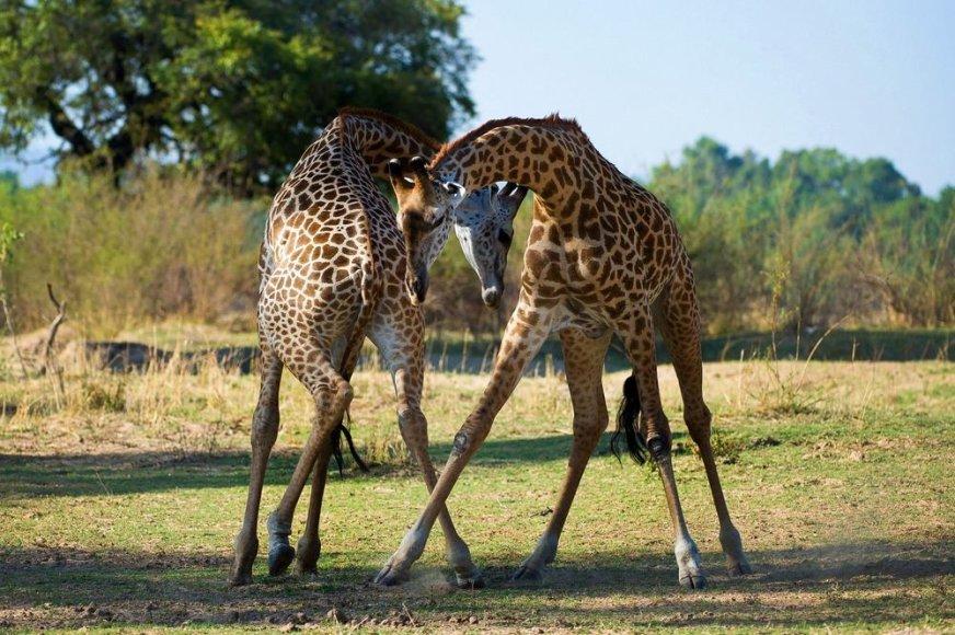 Žirafos