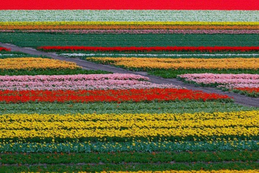 Tulpių laukai Olandijoje