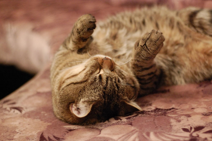 Katės stiprina imunitetą