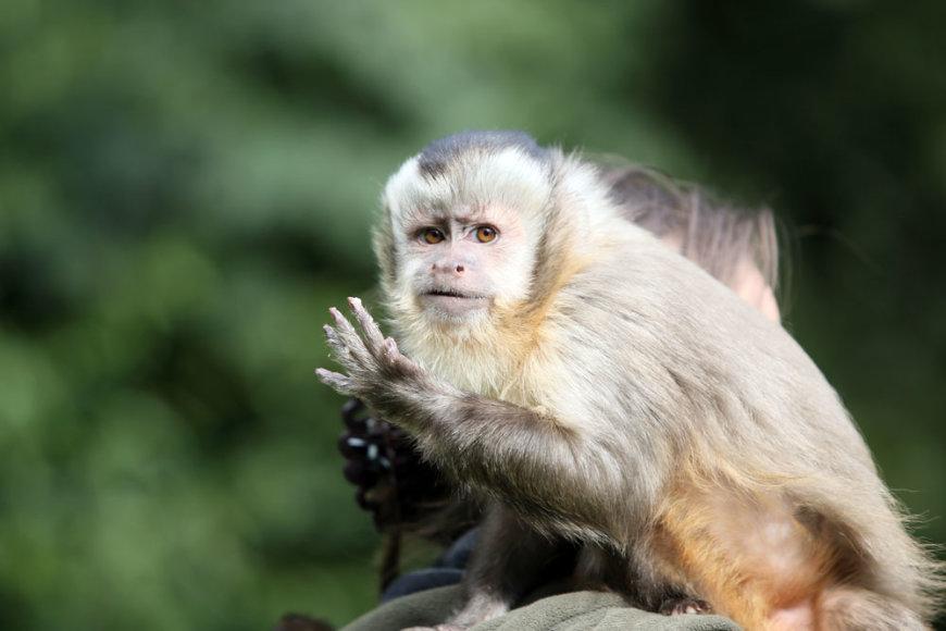 Beždžionėlė vardu Muntis