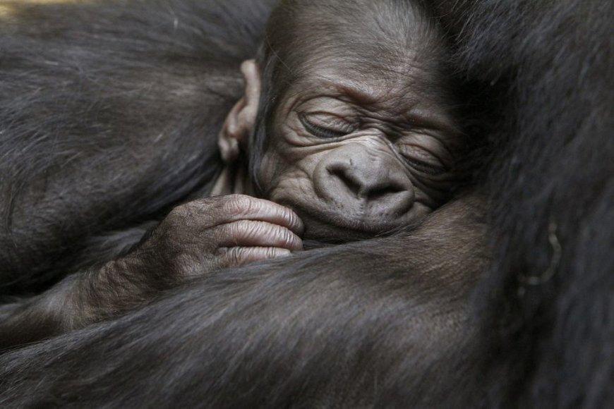 Gorilos jauniklis