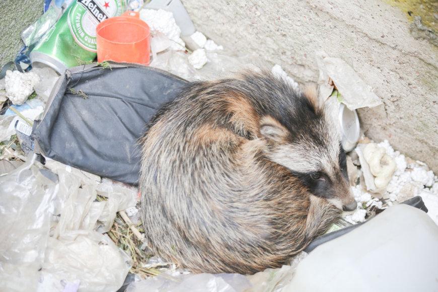 Vilniaus Žirnių g. į prie namų išmūrytą duobę įkrito smalsus laukinis gyvūnas.