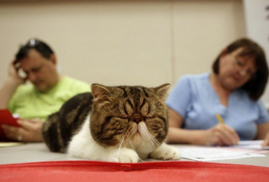 Trumpaplaukių egzotų veislės katė