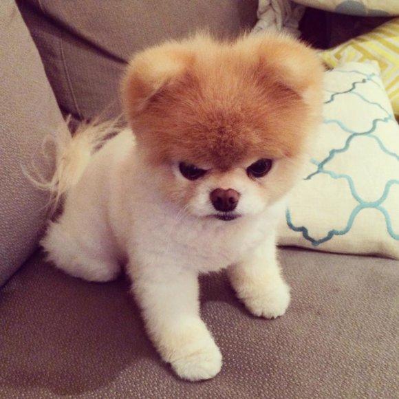 Šuniukas Boo