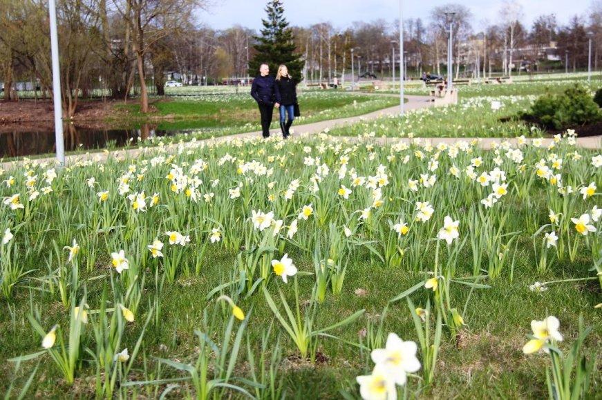 Druskininkuose pavasarį pranašauja žydintys narcizai