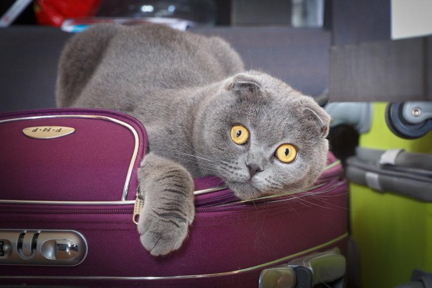 Katė lagamine
