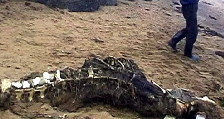 Sachalino saloje atrasti griaučiai – baltojo delfino liekanos