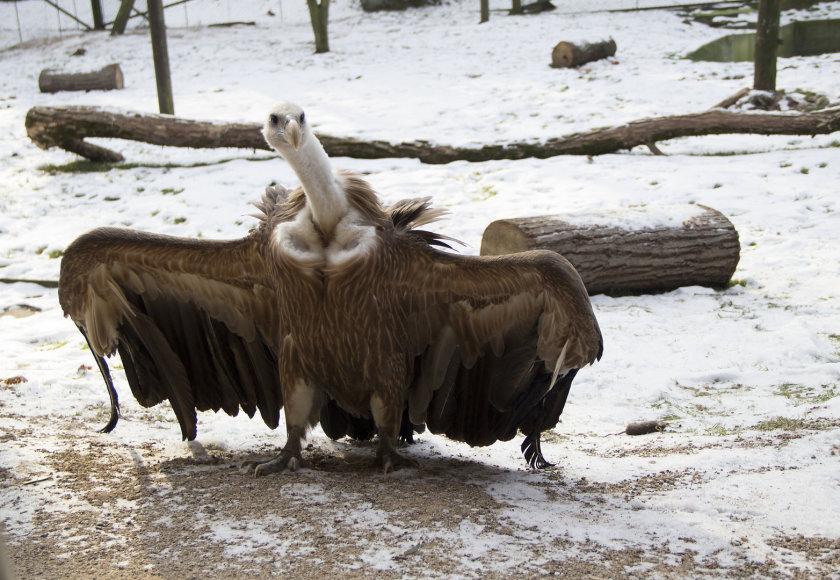 Grifas iš Kaliningrado zoologijos sodo
