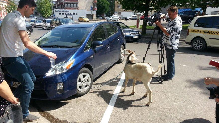 Ožys prirakintas prie automobilio