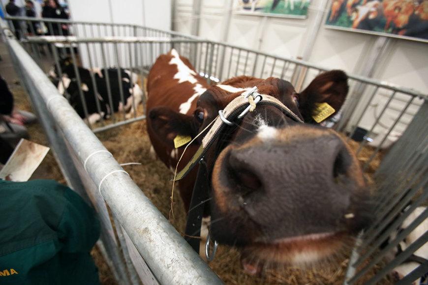 Žalosios karvės