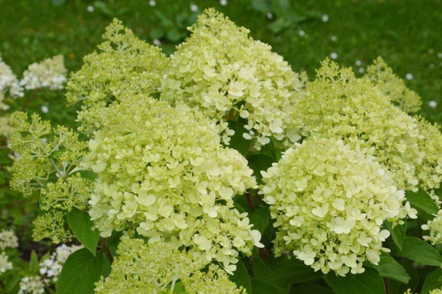 """Šluotelinė hortenzija (Hydrangea paniculata """"Diamantino"""")"""