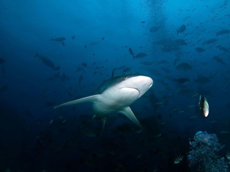 Baltapelekis pilkasis ryklys, Beqa saloje