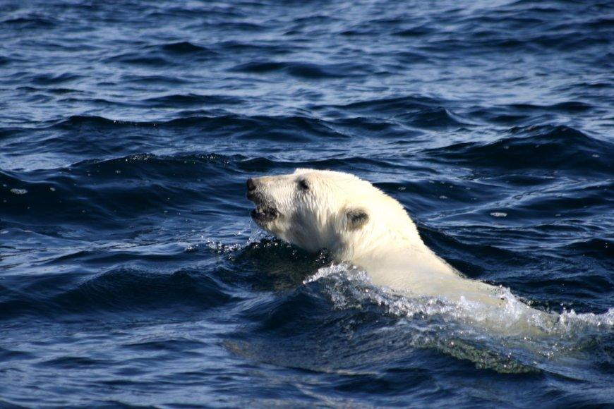 Plaukiantis poliarinis lokys Arktyje