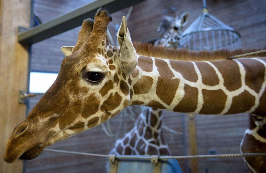 Žirafa vardu Marius