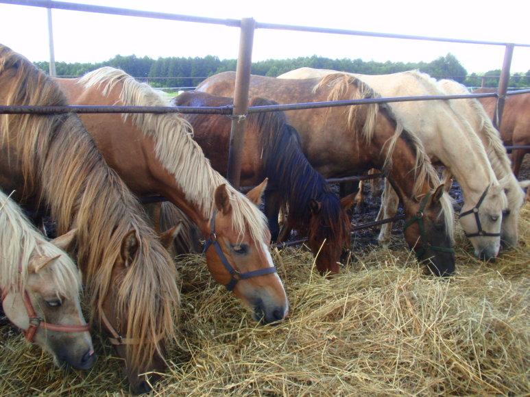 Nuo mirties išgelbėti žirgai gali būti vėl jai pasmerkti