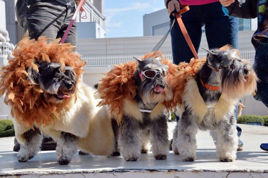 Kaip liūtai aprengti šunys