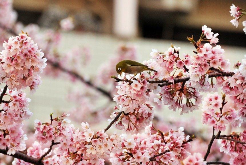 Tokijuje žydi japoniškos vyšnios