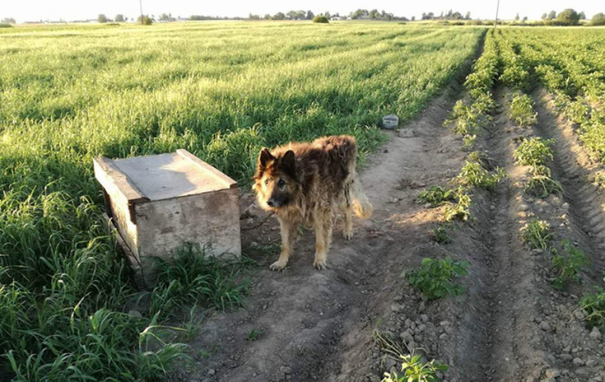 Kankinamas šuo