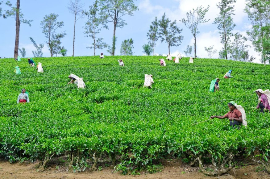 Šri Lankos arbatos plantacijos