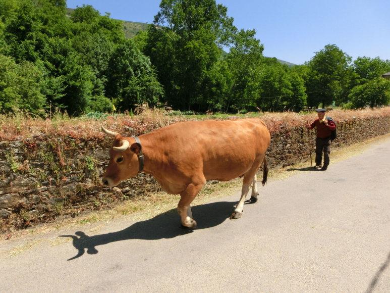 Galisijoje dažnas pakeleivis – karvės