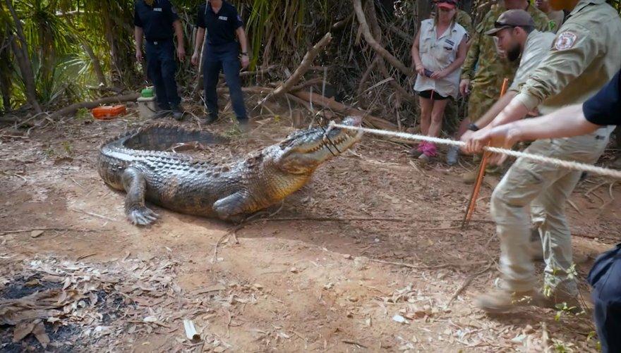 Australijos policija sugavo didžiulį galvijus puldinėjusį krokodilą
