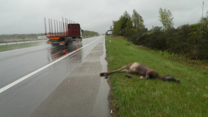 Greitkelyje sunkvežimis nutrenkė briedį