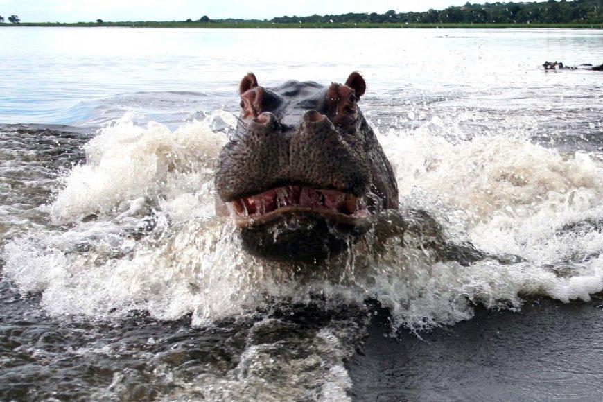 Hipopotamas