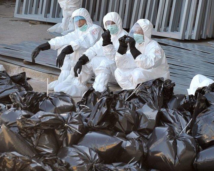 Sveikatos apsaugos darbuotojai visas užsikrėtusias vištas deda į maišus.