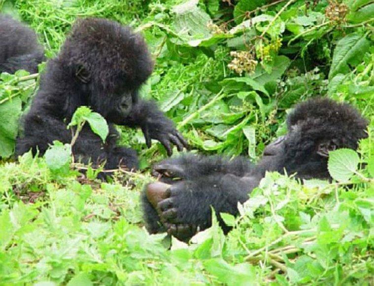 Gorilų dvynukai Ruandoje