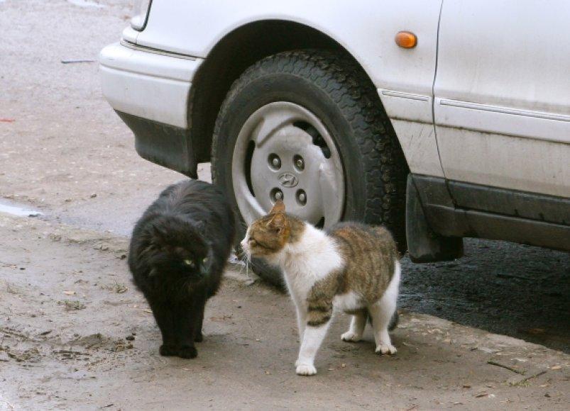 Beglobės katės