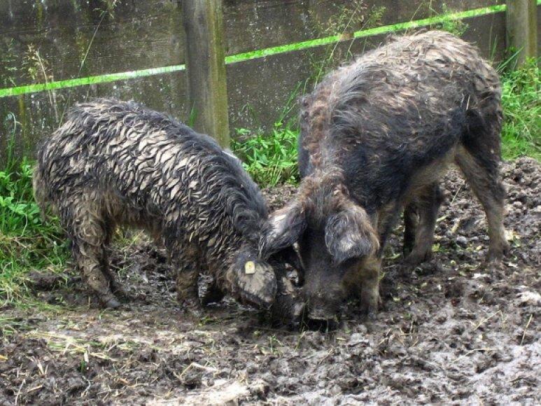 Mangalicos veislės kiaulės