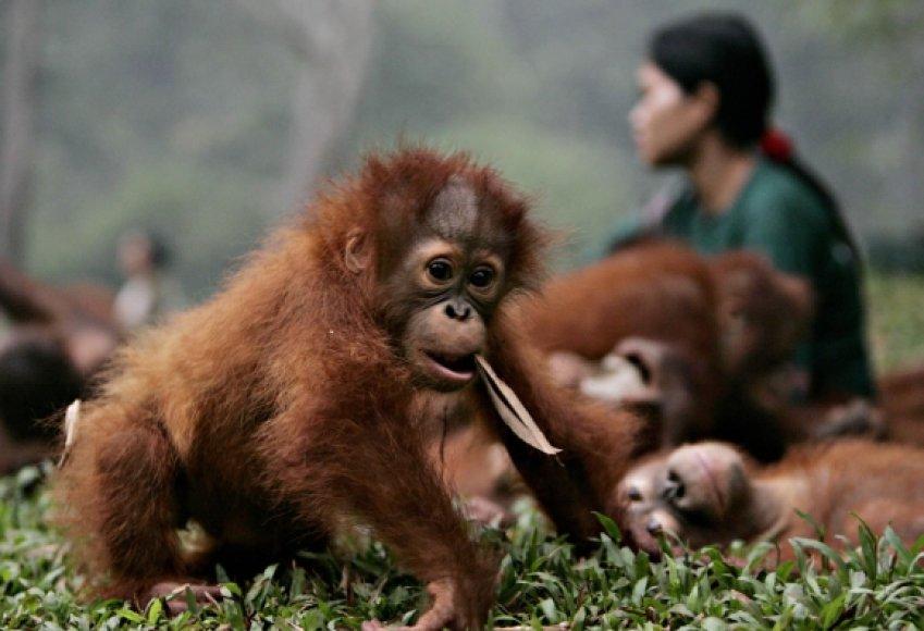 Orangutangų mažylis