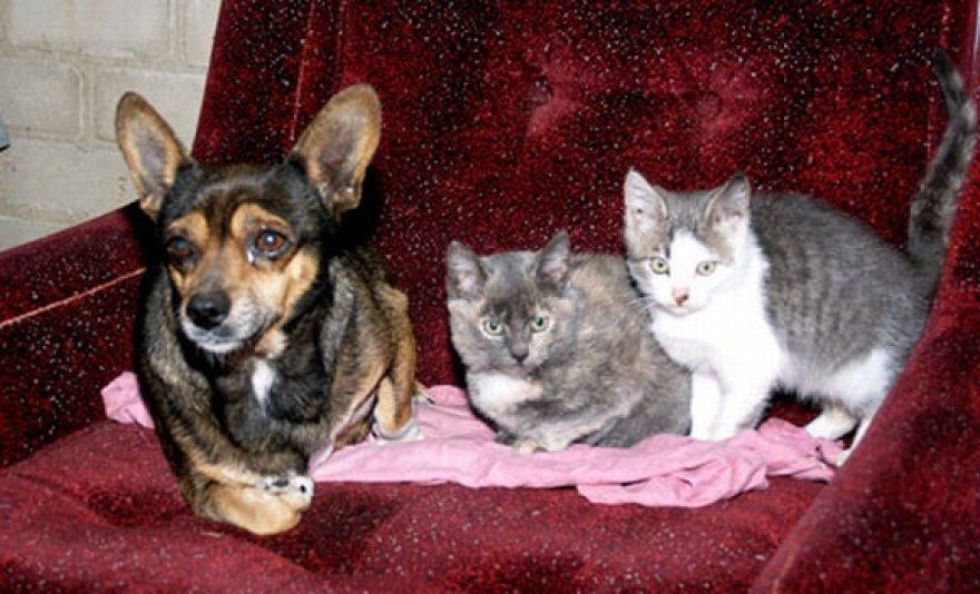 Kalaitė Džina jau pusantro mėnesio augina kačiukus. Tačiau pamažu nuo motinos atjunkantiems mažyliams jau reikalingi šeimininkai.