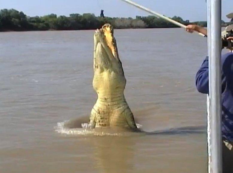 Milžiniškas krokodilas Brutas