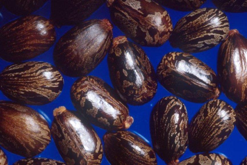 Ricinmedžio sėklos