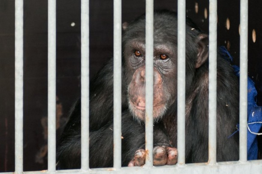 Regina išvyko į šimpanzių rezervatą.