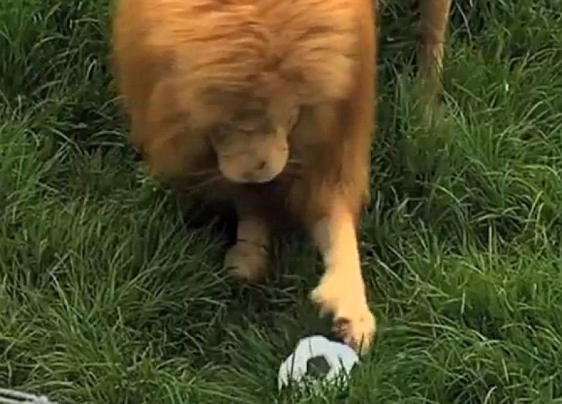 Liūtas Tritonas futbolo kamuolį saugo kaip brangenybę.