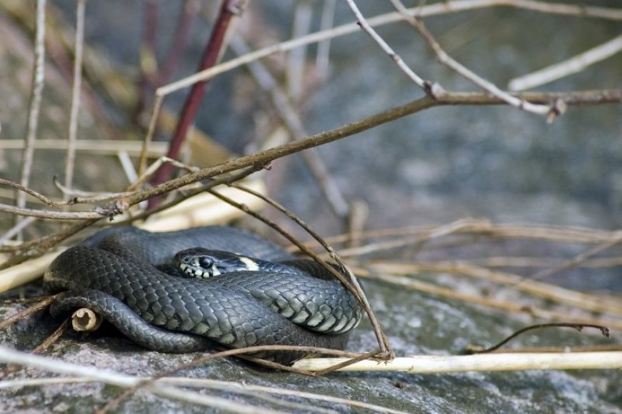 Gyvatė
