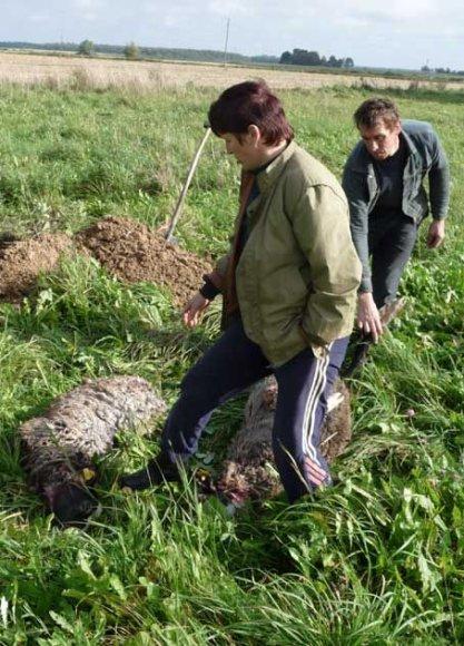 Biržų rajono ūkininkai vis dažniau skaičiuoja plėšrūnų padarytus nuostolius.