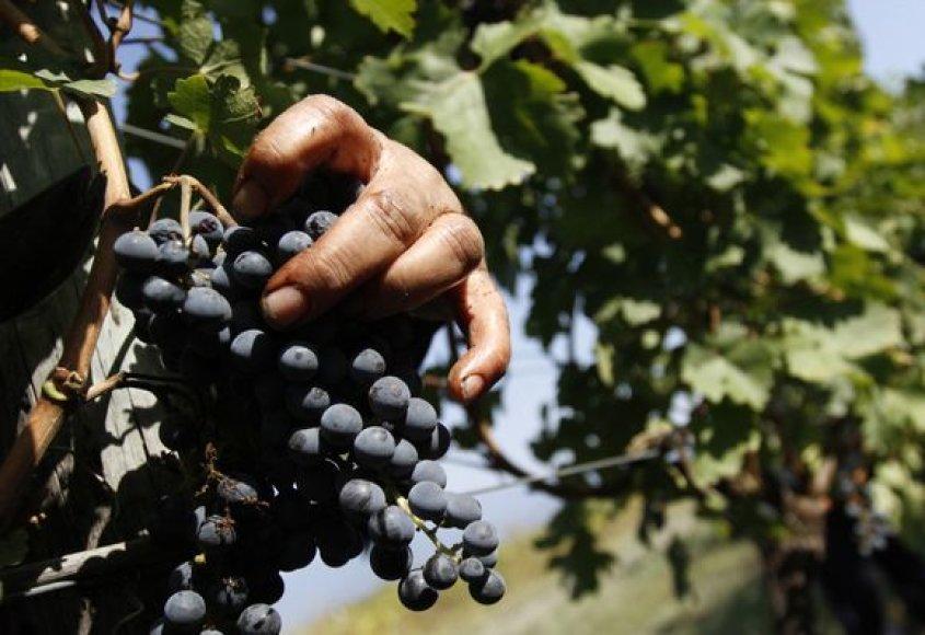 Vynuogių derliaus nuėmimas Gruzijoje.