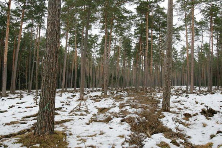 Šiuo metu Šernų miškuose vykdomi įprasti girininkijos darbai – miškas valomas, kertami pagal planus numatyti plotai, kurie ilgainiui bus atsodinti.