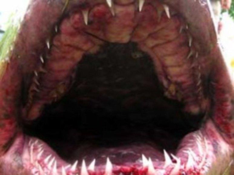 Primorėje sugautas ilgesnis nei 2,5 metro ryklys